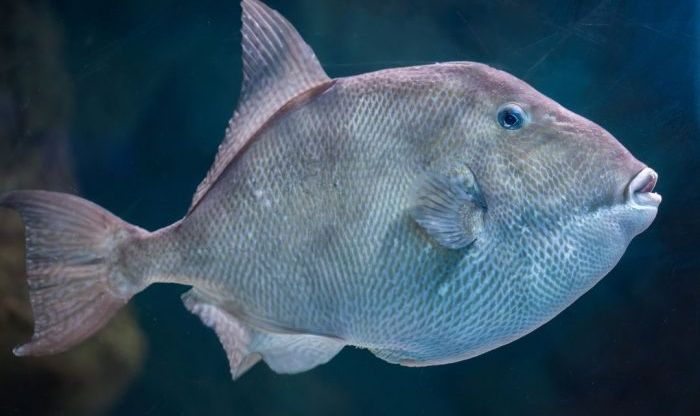 Tips for Catching Triggerfish in Pensacola Beach, FL This Spring Fishing Season